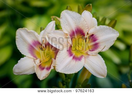 Two Pink And Yellow Day-lily Blossoms - Hemerocallis In The Garden