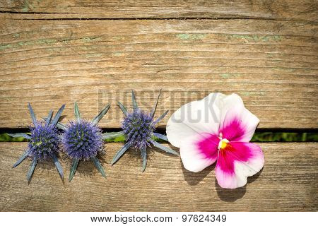Sea Holly Blue Eryngo - Eryngium Planum And Heartsease Flowers In A Row On The Wooden Table With Cop