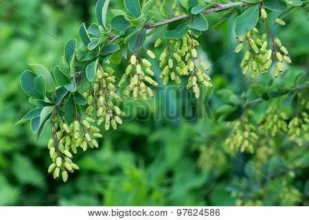 Barberry Ripen On The Branch