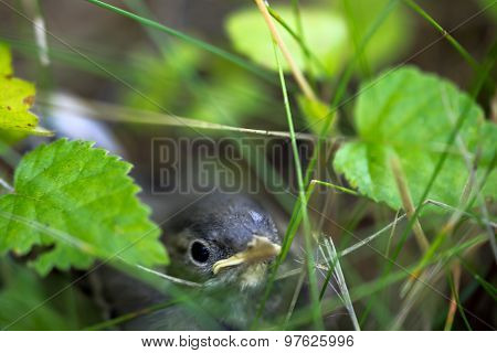 Wagtail Baby Birdhelpless Wagtail Baby Bird Hiding In A Grass. Saving Environment Concept, Hiding In