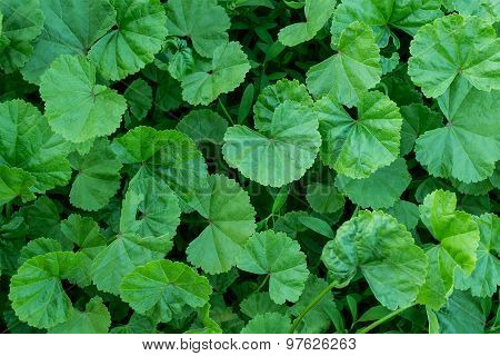 Medicinal Herb Lady's Mantle