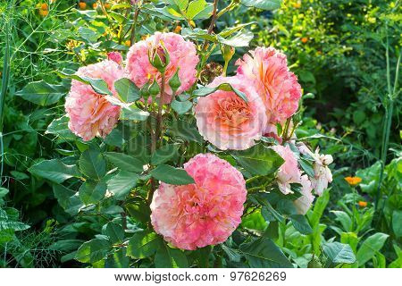 Shrub Roses With Lush Pink Flowers