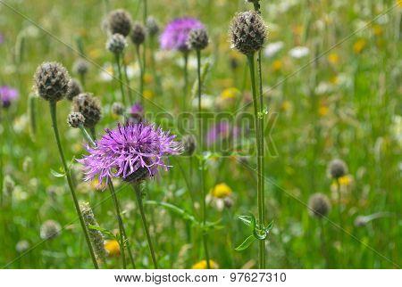 Perennial Cornflower in summer wild flower meadow
