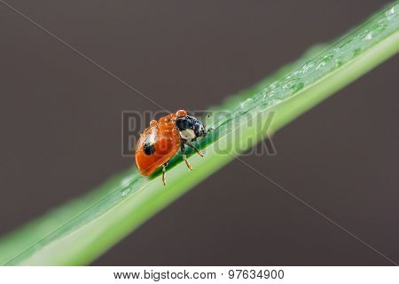 Ladybug with water drops sitting on a leaf