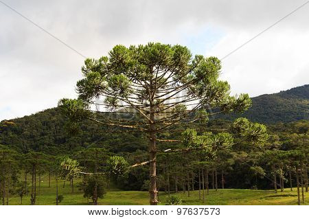 Closeup Of Upper Part Of Araucaria Angustifolia ( Brazilian Pine)