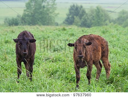 Little bisons in the grass field, Herd of American Bison (Bison Bison) or Buffalo, Bison Resting