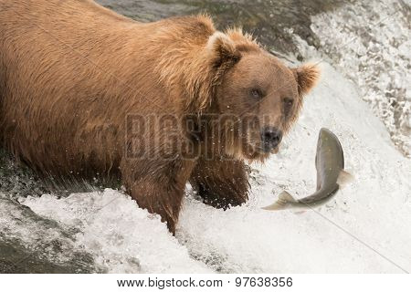 Bear About To Catch Salmon On Waterfall