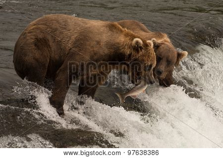 Bear Catching Salmon Beside Another On Waterfall