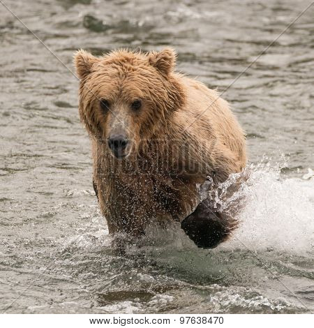 Bear Splashing Through River With Paw Raised