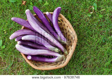 Perlina Crossbreed Eggplants