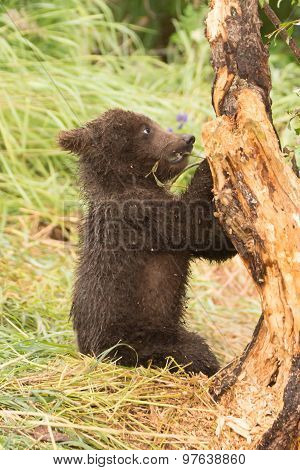 Brown Bear Cub Chews Branch Of Tree