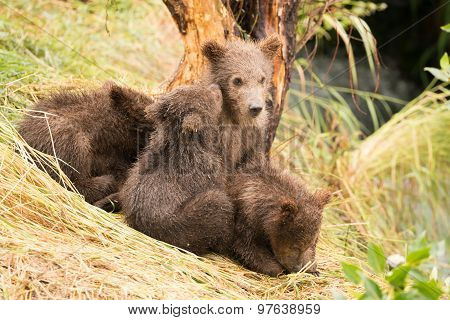 Brown Bear Cub Nuzzling Another Beside Tree
