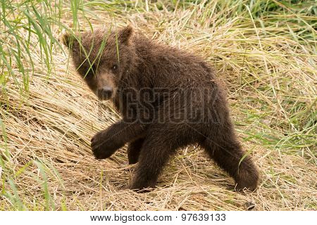 Brown Bear Cub Turns To Look Back