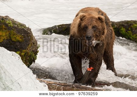 Brown Bear Eating Salmon Tail Beside Rocks