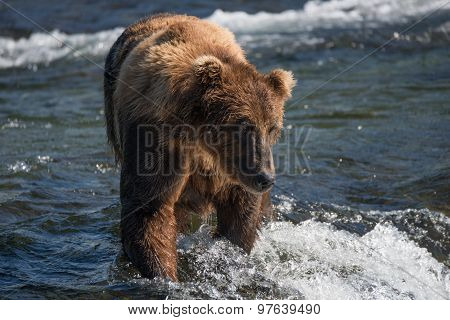 Brown Bear Looking Down In Shallow Rapids