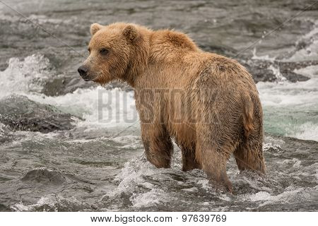 Brown Bear Standing In Rapids Facing Left