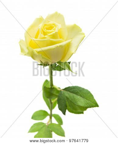 Pale Yellow And Green Rose Isolated