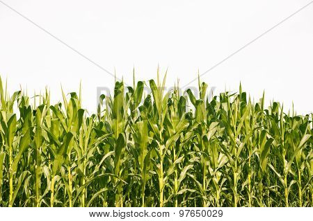 Corn field in summer isolated on white