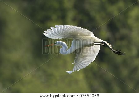 Great Egret In Flight At Breeding Colony
