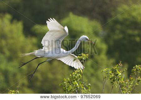Great Egret In Flight At Breeding Colony