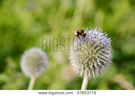 Echinops 'Vetch Blue' with Bumble Bee