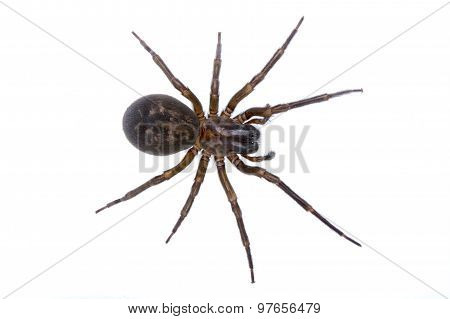 Dark Brown Spider On A White Background