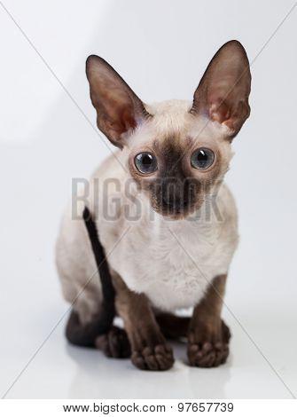 Cornish Rex kitten on a white background