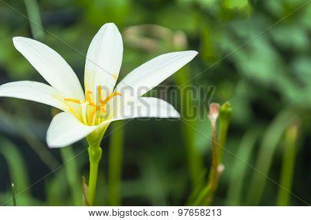 White Rain Lily, White Zephyr Lily, Zephyranthes Candida