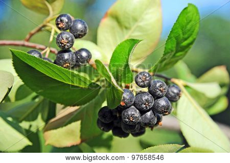 Black ashberry (Aronia melanocarpa)