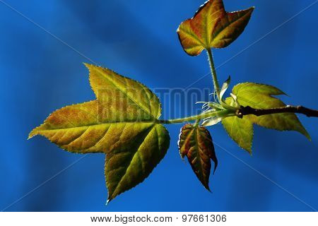 Green leaves under the blue sky. Green leaves under the blue sky.backlight photography..