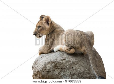 Baby Lion Sit On The Rock Isolated