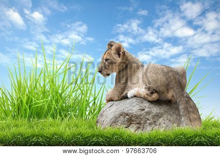 Baby Lion Sit On The Rock