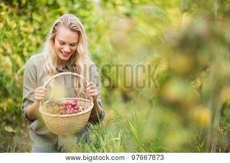 Kneeling blonde winegrower looking at a red grapes basket