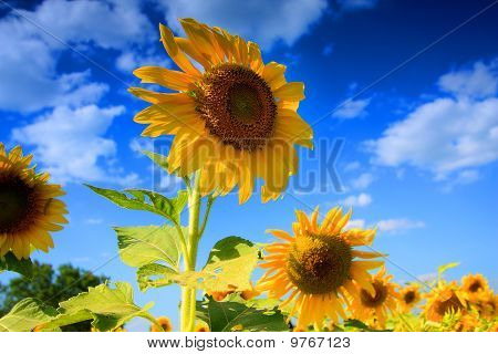 Sunflowet