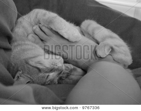 Soft And Tender French Cat Playing With Human Foot, Black And White Picture, France