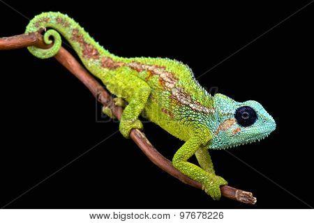 Mount Hanang chameleon