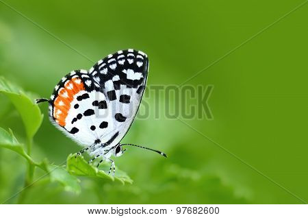 Colorful Butterfly (common Red Pierrot) Perching On Green Leaves