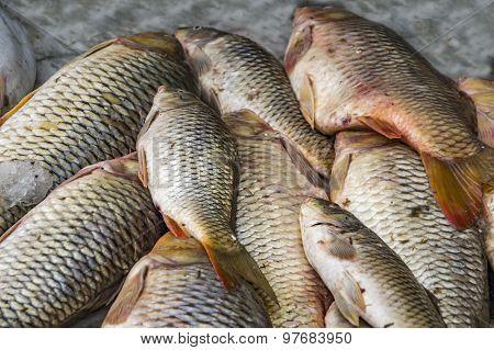 Heap Of Carp Fish