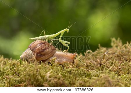 praying mantis riding a snail walks on grass