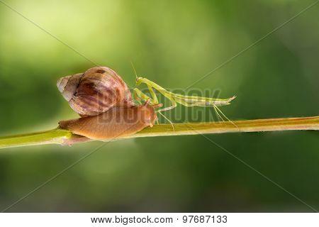 praying mantis and snail walks on grapevine