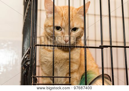Orange Cat Is Sad Caged  Shelter