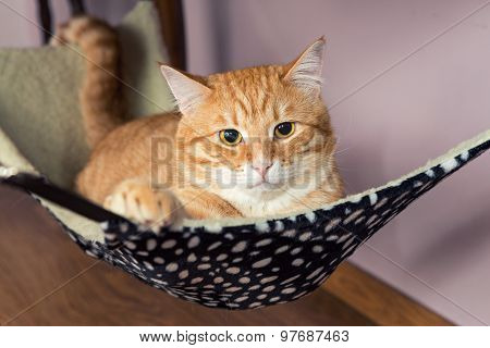 Happy Ginger Cat Lying In A Fur Hammock