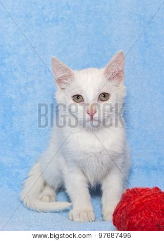 White Kitten With A Toy