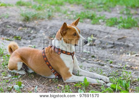 Outdoor portrait of basenji lying on the ground