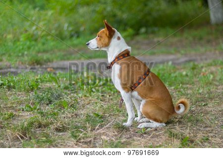Outdoor portrait of basenji dog waiting for the master