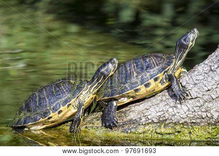Pond Slider Turtles Sunbathing