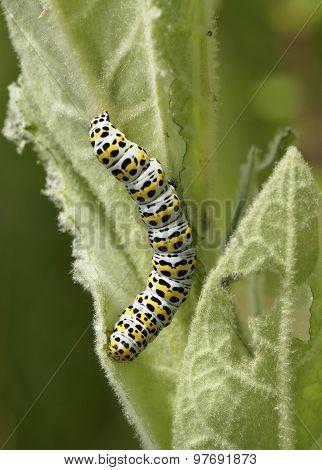 Mullein Moth Caterpillar