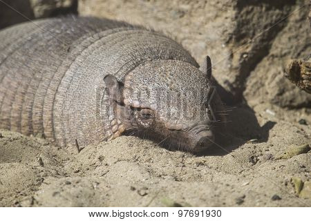 Big Hairy Armadillo Sleeping