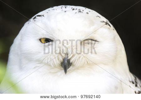 Portrait Of A Snowy Owl Winking
