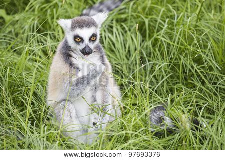 Ring-tailed Lemur Feeding In The Grass
